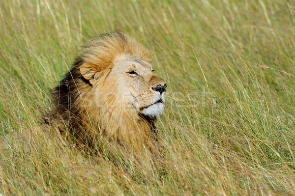 Leone vicino parco Kenia africa cat Foto d'archivio © byrdyak