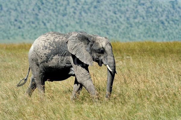 象 公園 ケニア アフリカ 家族 ストックフォト © byrdyak