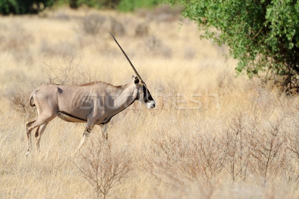 Gemsbok antelope Stock photo © byrdyak