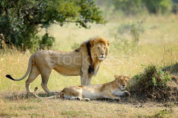 Lion in National park of Kenya, Africa Stock photo © byrdyak