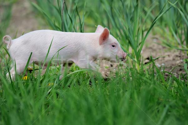 Piglet on farm Stock photo © byrdyak