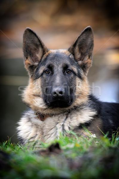 German shepherd dog portrait Stock photo © byrdyak