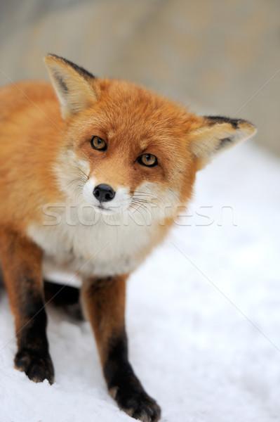 Red fox Stock photo © byrdyak