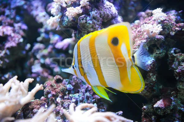 Tropical fish Butterflyfish Stock photo © byrdyak