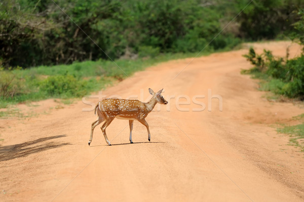 Wild Spotted deer Stock photo © byrdyak
