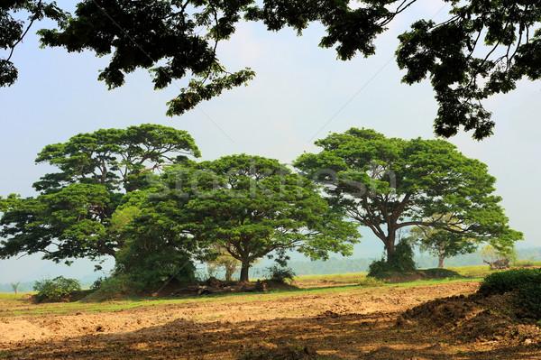 Três grande árvores parque Sri Lanka céu Foto stock © byrdyak