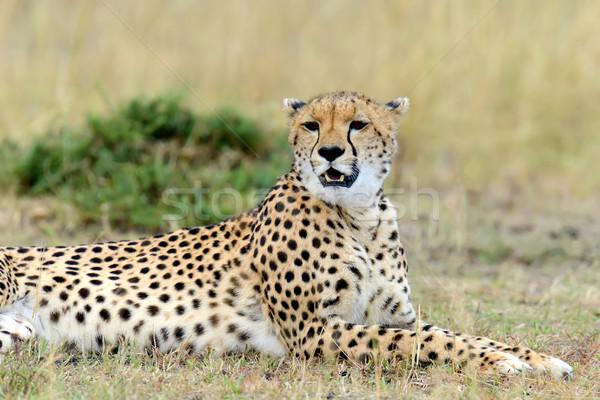 Stock fotó: Gepárd · Afrika · Kenya · vad · afrikai · gyönyörű