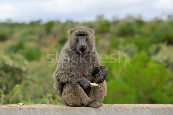 Pávián kő park Kenya Afrika természet Stock fotó © byrdyak