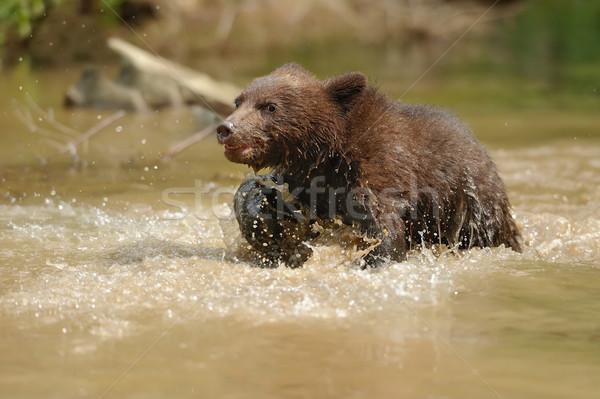 Bruine beer welp water boom bos natuur Stockfoto © byrdyak
