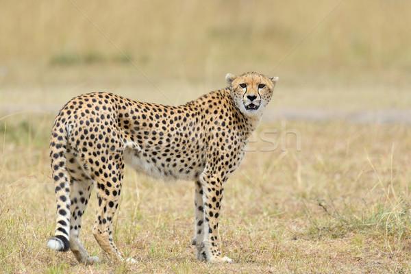 Stock fotó: Vad · afrikai · gepárd · gyönyörű · emlős · állat