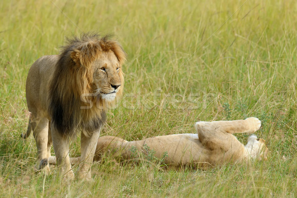 Stock photo: Close lion in National park of Kenya