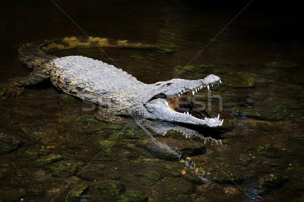 Big crocodile in water Stock photo © byrdyak