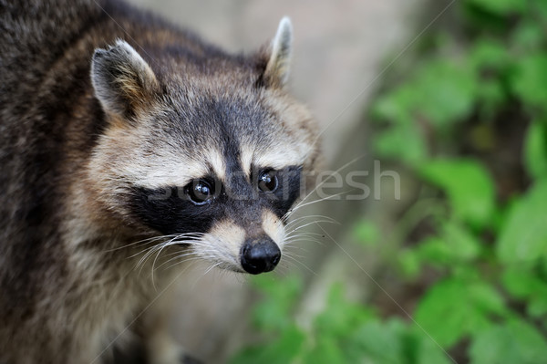 Raccoon in the forest Stock photo © byrdyak