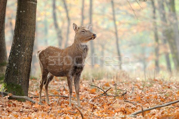 Cervo bella rosso prato ritratto trofeo Foto d'archivio © byrdyak