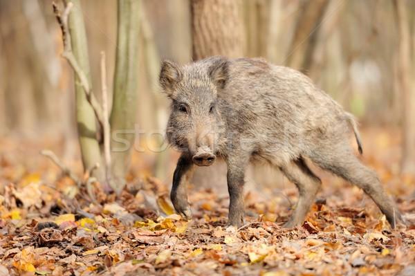 Wild boar in autumn forest Stock photo © byrdyak