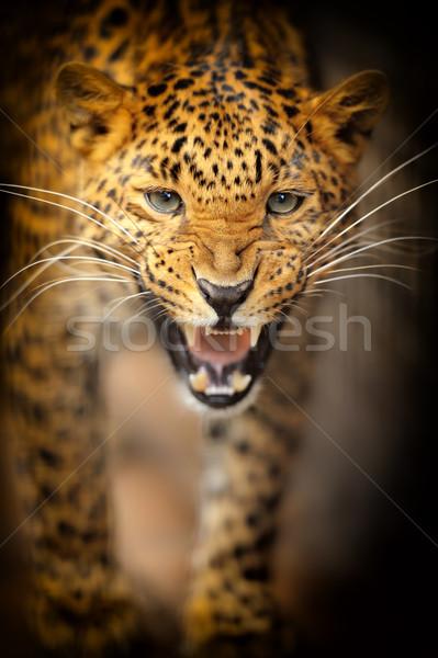 Leopardo ojo cara África negro selva Foto stock © byrdyak