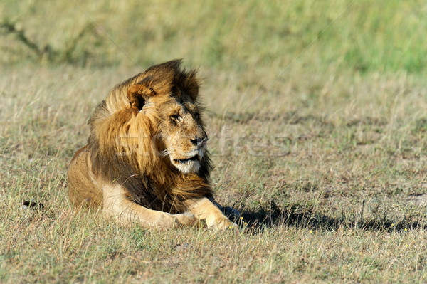 Lion in the grass of Masai Mara, Kenya Stock photo © byrdyak