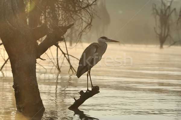 Garça-real cinza ramo rio pôr do sol Foto stock © byrdyak