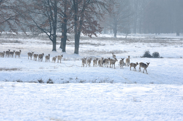 Ciervos invierno pradera árbol forestales paisaje Foto stock © byrdyak