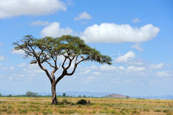 サバンナ 風景 公園 ケニア 草 光 ストックフォト © byrdyak