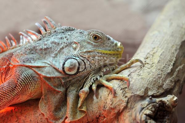 Iguana młodych brązowy gad oka Zdjęcia stock © byrdyak