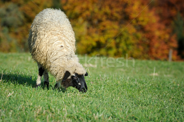 Sheep on a meadow Stock photo © byrdyak