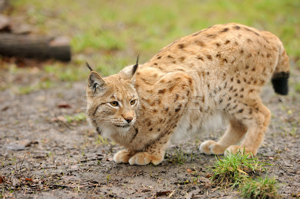 Young lynx Stock photo © byrdyak