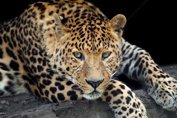 Leopar karanlık yüz doğa Stok fotoğraf © byrdyak