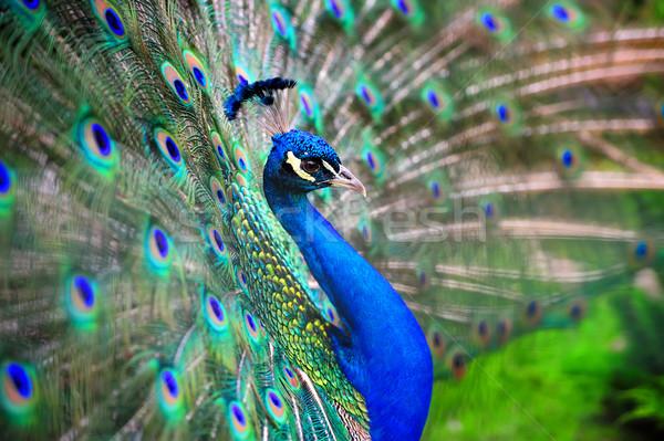 Paon portrait belle sur oeil Photo stock © byrdyak