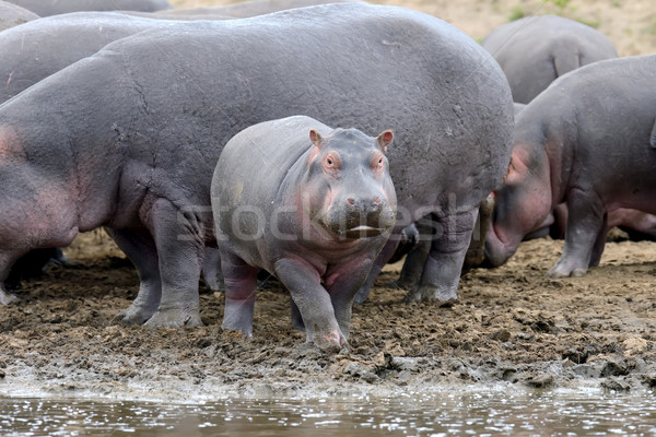 Hippo family. Kenya, Africa Stock photo © byrdyak