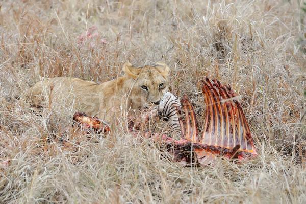 Stock fotó: Oroszlán · park · Kenya · Afrika · közelkép · macska
