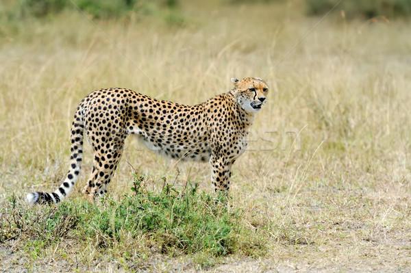 Gepárd vad afrikai gyönyörű emlős állat Stock fotó © byrdyak