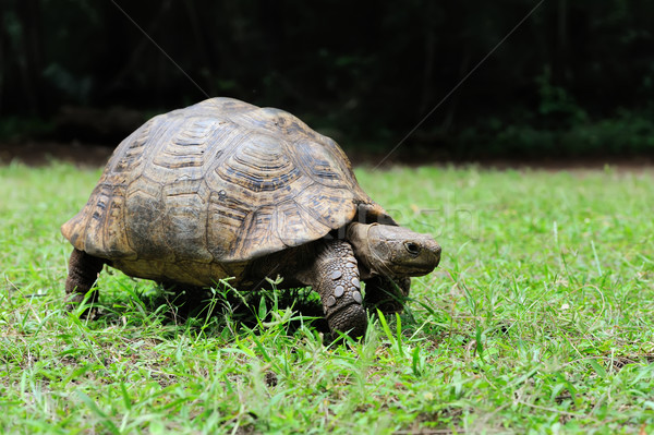 African Spurred Tortoise in grass Stock photo © byrdyak