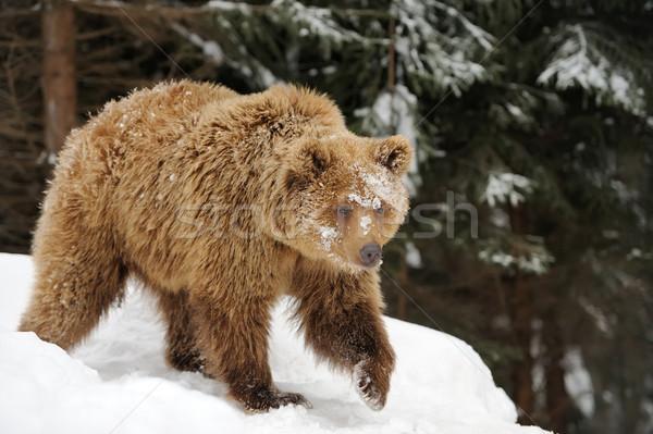 Beer winter bos groot bruine beer boom Stockfoto © byrdyak