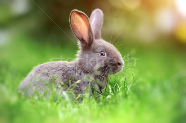 Rabbit in the grass Stock photo © byrdyak
