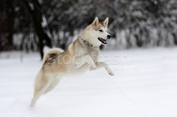 Husky fiatal kutya hó arc boldog Stock fotó © byrdyak
