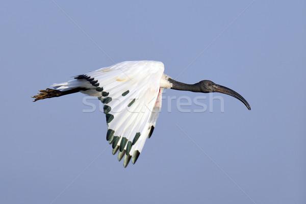 African sacro volo Sudafrica uccello blu Foto d'archivio © byrdyak