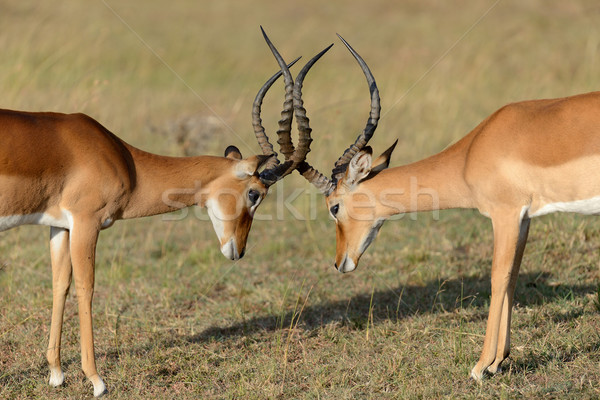 Impala fight on savanna in Africa, Kenya Stock photo © byrdyak