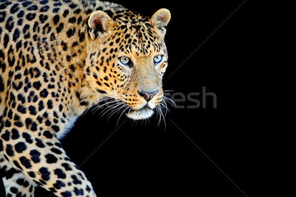 Leopárd portré sötét közelkép Afrika fekete Stock fotó © byrdyak