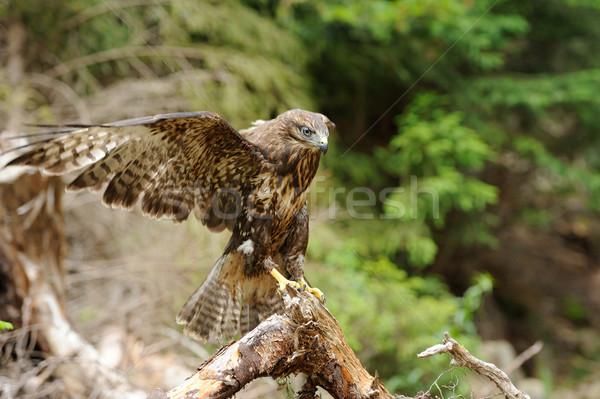 Halcón rama forestales madera pluma alas Foto stock © byrdyak