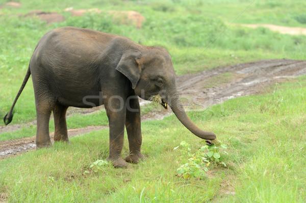 Elephants Stock photo © byrdyak