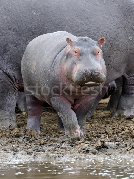 Nijlpaard familie Kenia afrika nijlpaard buiten Stockfoto © byrdyak