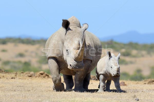 Rinoceronte africano branco parque Quênia bebê Foto stock © byrdyak