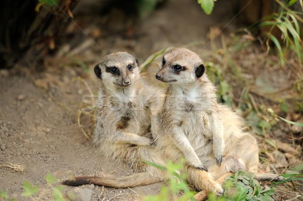 Twee jonge naar alarm ogen dier Stockfoto © byrdyak