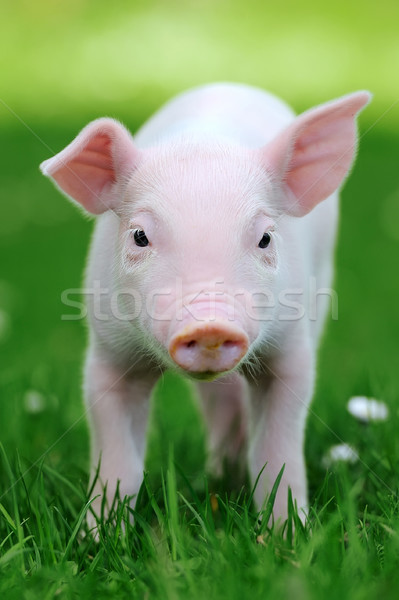 Stock photo: Young pig in grass