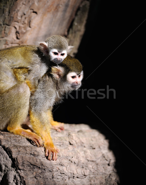 Common Squirrel Monkey Stock photo © byrdyak