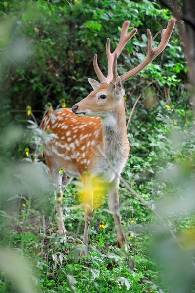 Whitetail Deer standing in summer wood Stock photo © byrdyak