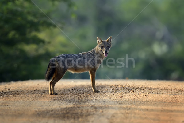 Black-backed jackal Stock photo © byrdyak