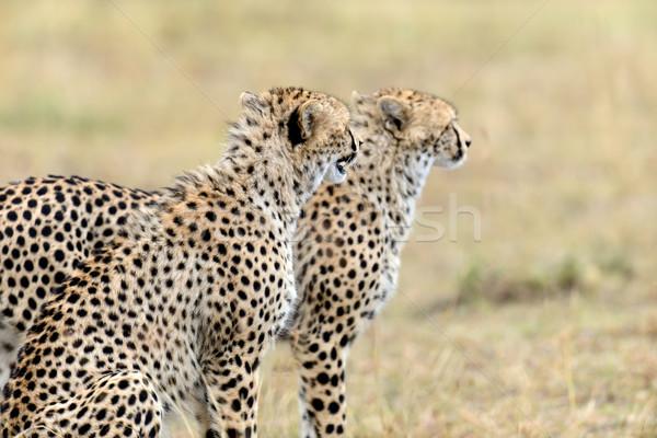 çita Afrika güzel memeli hayvan Stok fotoğraf © byrdyak