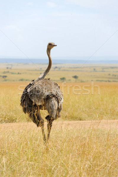 Stock photo: African ostrich (Struthio camelus)